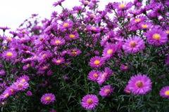 Arbusto del Zinnia en color de color rosa oscuro con la abeja en la flor Fotografía de archivo