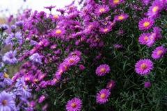 Arbusto del Zinnia en color de color rosa oscuro con la abeja en la flor Imagen de archivo libre de regalías