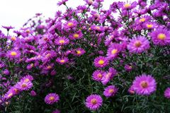 Arbusto del Zinnia en color de color rosa oscuro con la abeja en la flor Imagenes de archivo
