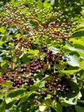 Arbusto della bacca di sambuco con le bacche di sambuco fotografie stock