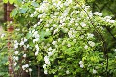 Arbusto dello Spiraea in fioritura immagini stock