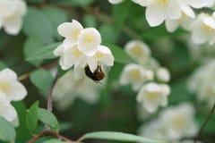 Arbusto denso del jazmín que florece en día de verano Fotos de archivo libres de regalías