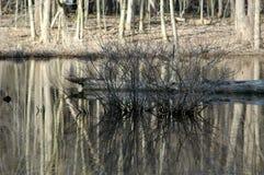 Arbusto desencapado na lagoa Imagem de Stock