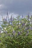 Arbusto di agnus-castus di Vitex fotografia stock