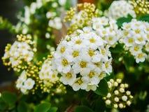 Arbusto di fioritura bianco Fotografia Stock
