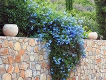 Arbusto di fioritura blu sulla parete di pietra Fotografie Stock Libere da Diritti