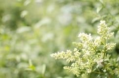 Arbusto di fioritura con i piccoli fiori bianchi Fiore di tempo di primavera immagine stock