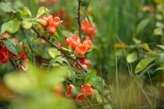 Arbusto di fioritura del coccinea rosso di Ixora Fotografia Stock Libera da Diritti