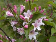 Arbusto di fioritura del rododendro Fotografie Stock Libere da Diritti