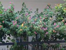 Arbusto di fioritura della lantana Immagine Stock