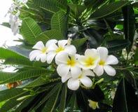 Arbusto di fioritura della plumeria Fotografia Stock