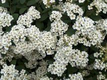 Arbusto di fioritura dello spiraea Fotografia Stock Libera da Diritti