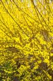 Arbusto di forsythia Fotografia Stock