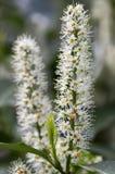 Arbusto di prunus laurocerasus in fioritura con il gruppo di piccoli fiori bianchi Fotografie Stock