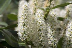Arbusto di prunus laurocerasus in fioritura con il gruppo di piccoli fiori bianchi, foglie verdi sui rami Fotografie Stock Libere da Diritti