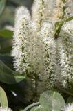 Arbusto di prunus laurocerasus in fioritura con il gruppo di piccoli fiori bianchi, foglie verdi sui rami Immagini Stock