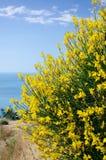 Arbusto di spartium junceum fotografia stock libera da diritti
