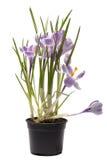 Arbusto do açafrão em um potenciômetro em um branco Fotos de Stock Royalty Free