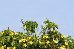 Arbusto do Allamanda Fotos de Stock Royalty Free