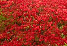 Arbusto do arbusto ardente Imagem de Stock Royalty Free