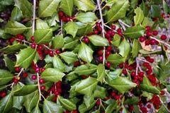 Arbusto do azevinho Imagem de Stock