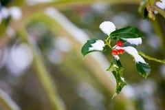 Arbusto do azevinho no inverno com profundidade de campo curta Foto de Stock