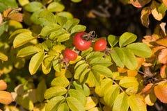Arbusto do Brier foto de stock royalty free