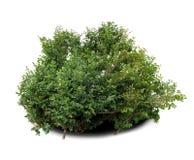 Arbusto do buxo imagens de stock royalty free