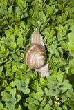 Arbusto do buxo com um caracol Imagem de Stock