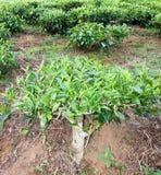 Arbusto do chá na exploração agrícola do chá Fotografia de Stock