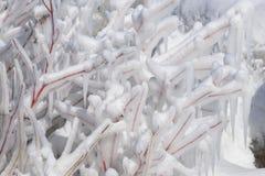 Arbusto do corniso de vimeiro vermelho encerrado no gelo do pulverizador imagens de stock