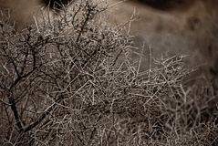 Arbusto do deserto Imagem de Stock Royalty Free