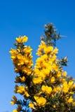 Arbusto do Gorse de encontro a um céu azul foto de stock royalty free