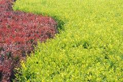 Arbusto do jardim Imagens de Stock Royalty Free