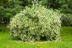 Arbusto do jasmim Imagens de Stock