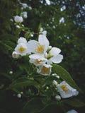 Arbusto do jasmim após a chuva, jardim de florescência Imagem de Stock Royalty Free