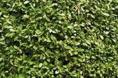 Arbusto do louro Imagem de Stock