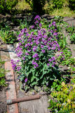 Arbusto do Lunaria Imagem de Stock