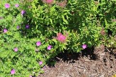 Arbusto do Magnoliophyta com mluch fotografia de stock royalty free