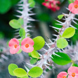 Arbusto do milii do eufórbio, planta constante, uma planta carnuda do Euphorbiaceae Foto de Stock