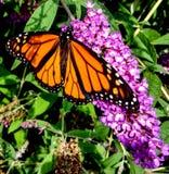 Arbusto do monarca foto de stock
