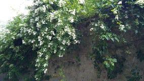 Arbusto do multiflora de Rosa video estoque