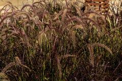 Arbusto do Pennisetum no por do sol do verão no fundo da parede fotos de stock royalty free