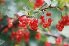 Arbusto do Redcurrant Fotografia de Stock