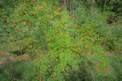 Arbusto do Rosehip na natureza Fotos de Stock Royalty Free