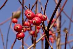 Arbusto do Rosehip no fundo claro do céu Imagens de Stock