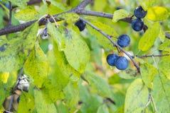 Arbusto do spinosa do Prunus da foto Imagem de Stock Royalty Free