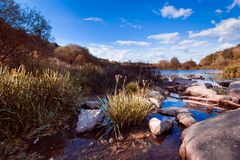 Arbusto do umbellatus de Butomus na água do rio do sul do erro no meio-dia ensolarado do verão com o céu azul profundo, superfíci foto de stock