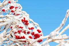 Arbusto do Viburnum com as bagas maduras vermelhas cobertas com a neve Imagem de Stock Royalty Free