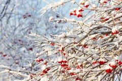Arbusto do Viburnum com as bagas maduras vermelhas cobertas com a neve Imagens de Stock
